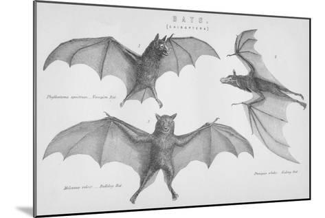 Bats. (Chiroptera), 1885--Mounted Giclee Print