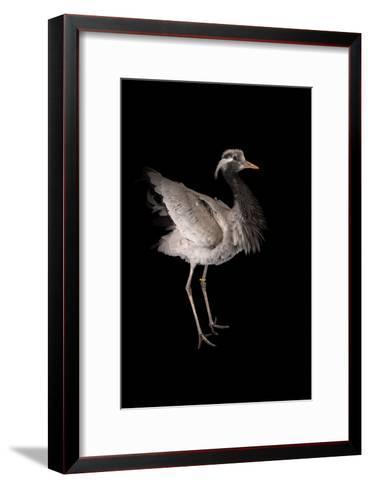 A Demoiselle Crane, Anthropoides Virgo, at Sylvan Heights Bird Park-Joel Sartore-Framed Art Print