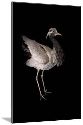 A Demoiselle Crane, Anthropoides Virgo, at Sylvan Heights Bird Park-Joel Sartore-Mounted Photographic Print