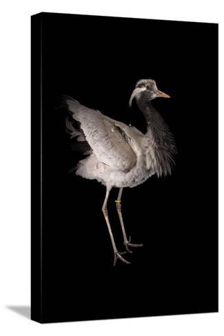 A Demoiselle Crane, Anthropoides Virgo, at Sylvan Heights Bird Park-Joel Sartore-Stretched Canvas Print