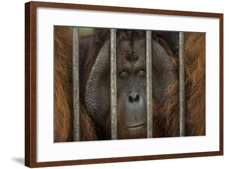 A Non-Releasable Male Orangutan at the International Animal Rescue Center-Timothy Laman-Framed Art Print