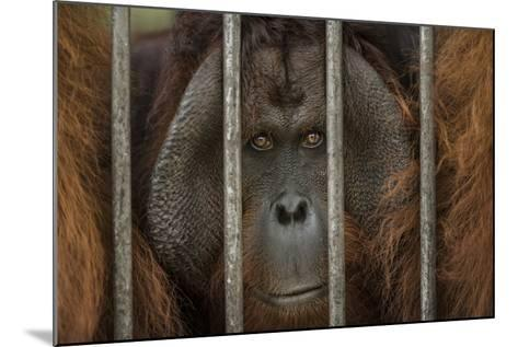 A Non-Releasable Male Orangutan at the International Animal Rescue Center-Timothy Laman-Mounted Photographic Print