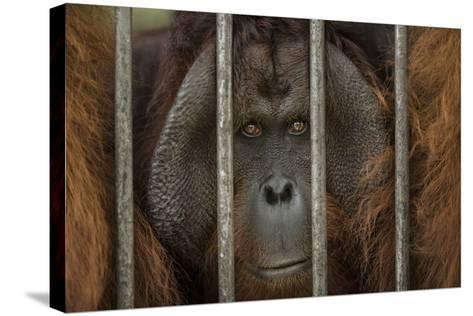 A Non-Releasable Male Orangutan at the International Animal Rescue Center-Timothy Laman-Stretched Canvas Print