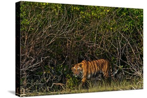 A Tiger Walks Among the Mangroves in India's Sundarbans Region-Steve Winter-Stretched Canvas Print
