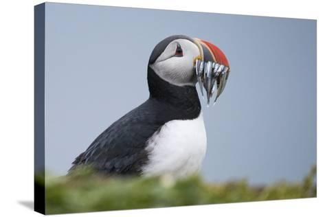 An Atlantic Puffin, Fratercula Arctica, Carrying a Mouth Full of Baitfish-Michael Melford-Stretched Canvas Print
