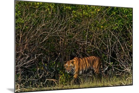 A Tiger Walks Among the Mangroves in India's Sundarbans Region-Steve Winter-Mounted Photographic Print