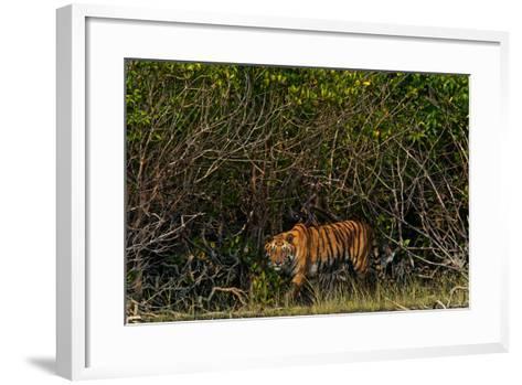 A Tiger Walks Among the Mangroves in India's Sundarbans Region-Steve Winter-Framed Art Print