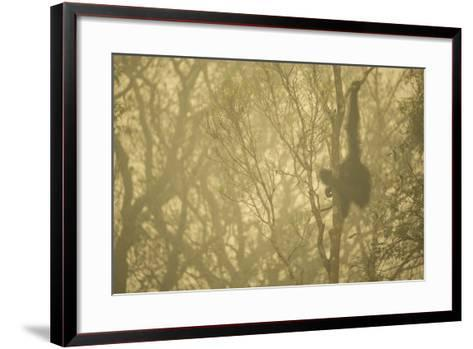 A Male Bornean Orangutan in a Strip of Remaining Forest Along the Mangkutup River-Timothy Laman-Framed Art Print