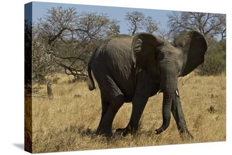 An African Elephant in South Africa's Timbavati Game Reserve-Steve Winter-Stretched Canvas Print