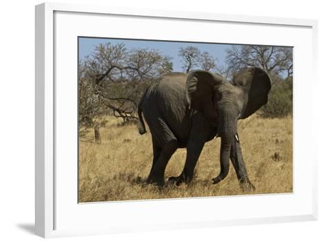 An African Elephant in South Africa's Timbavati Game Reserve-Steve Winter-Framed Art Print