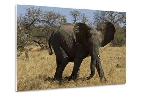An African Elephant in South Africa's Timbavati Game Reserve-Steve Winter-Metal Print