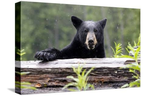 Portrait of a Black Bear, Ursus Americanus, in the Canadian Rockies-Jill Schneider-Stretched Canvas Print