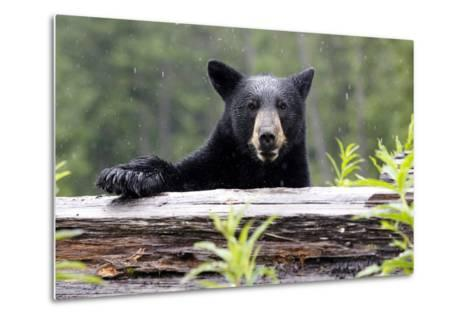 Portrait of a Black Bear, Ursus Americanus, in the Canadian Rockies-Jill Schneider-Metal Print