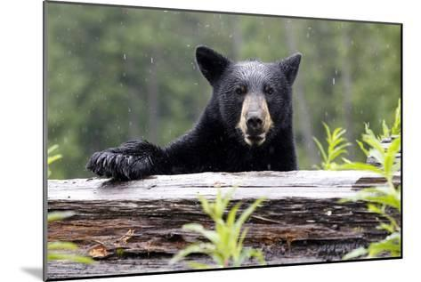 Portrait of a Black Bear, Ursus Americanus, in the Canadian Rockies-Jill Schneider-Mounted Photographic Print