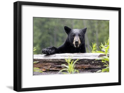Portrait of a Black Bear, Ursus Americanus, in the Canadian Rockies-Jill Schneider-Framed Art Print
