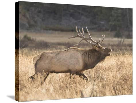A Bull Elk Charges a Herd of Cows in Anticipation of Mating-Richard Seeley-Stretched Canvas Print