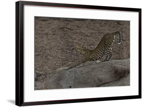 A Female Leopard Stretches in South Africa's Timbavati Game Reserve-Steve Winter-Framed Art Print