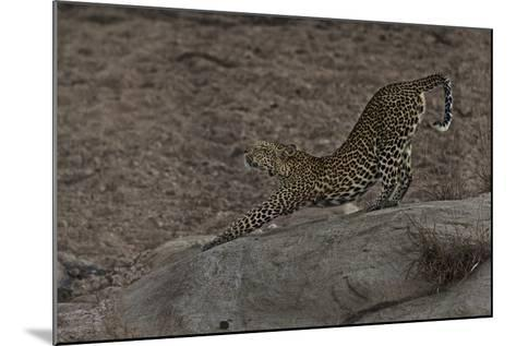 A Female Leopard Stretches in South Africa's Timbavati Game Reserve-Steve Winter-Mounted Photographic Print