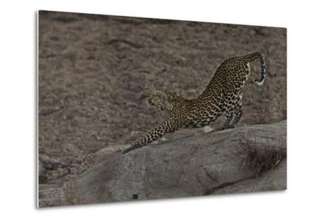 A Female Leopard Stretches in South Africa's Timbavati Game Reserve-Steve Winter-Metal Print