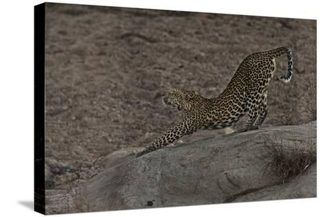 A Female Leopard Stretches in South Africa's Timbavati Game Reserve-Steve Winter-Stretched Canvas Print