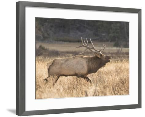 A Bull Elk Charges a Herd of Cows in Anticipation of Mating-Richard Seeley-Framed Art Print