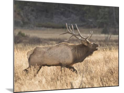 A Bull Elk Charges a Herd of Cows in Anticipation of Mating-Richard Seeley-Mounted Photographic Print