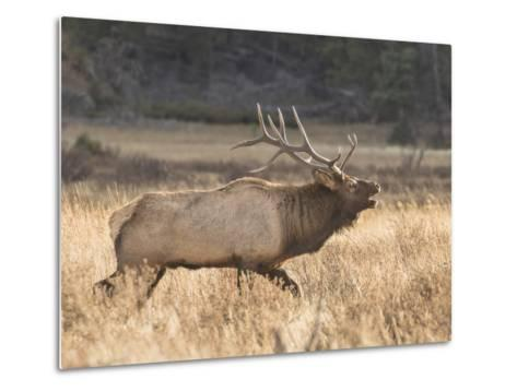 A Bull Elk Charges a Herd of Cows in Anticipation of Mating-Richard Seeley-Metal Print