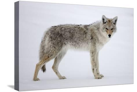 A Coyote, Canis Latrans, Pauses on Snow and Looks at the Camera-Robbie George-Stretched Canvas Print