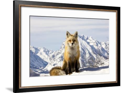 A Red Fox, Vulpes Vulpes, Basks in Winter Sun-Robbie George-Framed Art Print