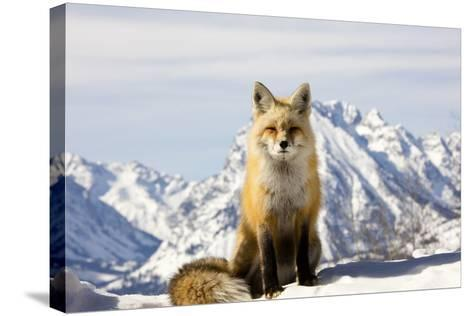 A Red Fox, Vulpes Vulpes, Basks in Winter Sun-Robbie George-Stretched Canvas Print