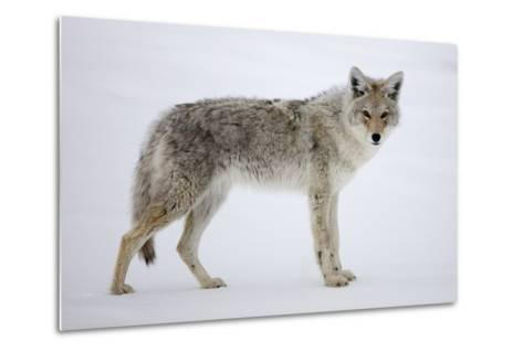 A Coyote, Canis Latrans, Pauses on Snow and Looks at the Camera-Robbie George-Metal Print