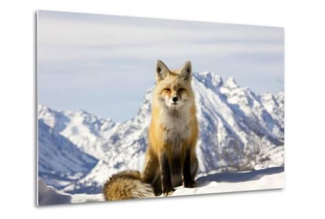 A Red Fox, Vulpes Vulpes, Basks in Winter Sun-Robbie George-Metal Print