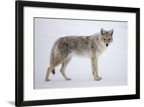 A Coyote, Canis Latrans, Pauses on Snow and Looks at the Camera-Robbie George-Framed Art Print