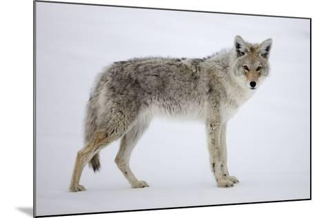 A Coyote, Canis Latrans, Pauses on Snow and Looks at the Camera-Robbie George-Mounted Photographic Print
