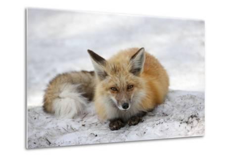 A Red Fox, Vulpes Vulpes, Rests on Snow-Robbie George-Metal Print