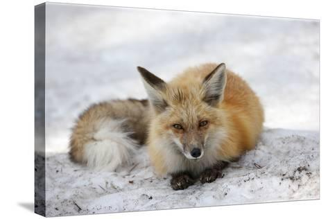 A Red Fox, Vulpes Vulpes, Rests on Snow-Robbie George-Stretched Canvas Print