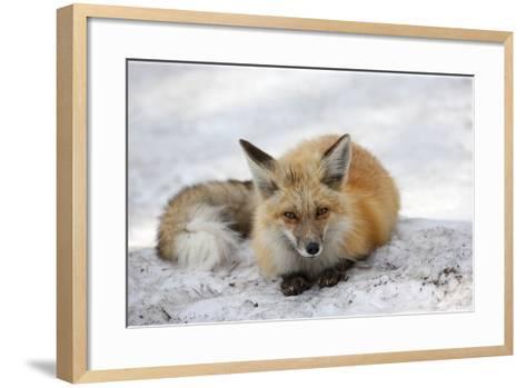 A Red Fox, Vulpes Vulpes, Rests on Snow-Robbie George-Framed Art Print