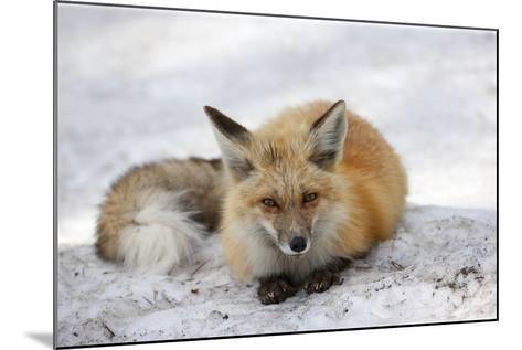A Red Fox, Vulpes Vulpes, Rests on Snow-Robbie George-Mounted Photographic Print
