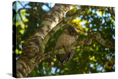 A Brown Fish Owl, Bubo Zeylonensis, Perches on a Tree Branch-Prasenjeet Yadav-Stretched Canvas Print