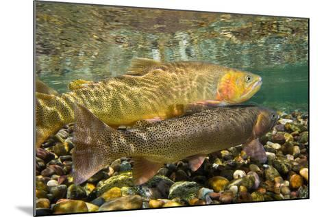 Cutthroat Trout Spawning in the Gros Ventre River-Charlie James-Mounted Photographic Print