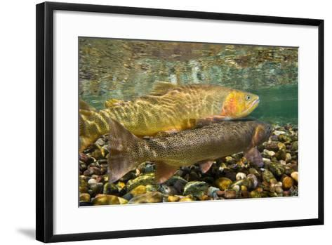 Cutthroat Trout Spawning in the Gros Ventre River-Charlie James-Framed Art Print