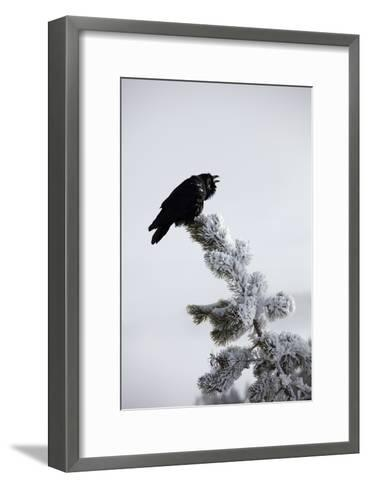 A Common Raven, Corvus Corax, Perches Atop a Snow Laden Pine-Robbie George-Framed Art Print