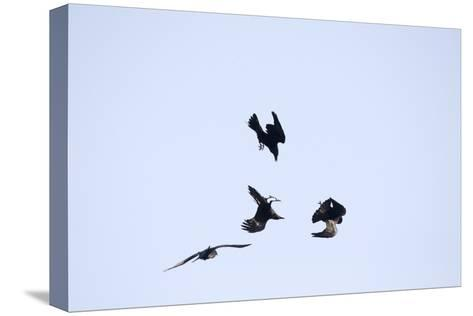 Four Ravens, Corvus Corax, Find Themselves in a Acrobatic Performance Midair-Robbie George-Stretched Canvas Print