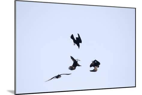 Four Ravens, Corvus Corax, Find Themselves in a Acrobatic Performance Midair-Robbie George-Mounted Photographic Print