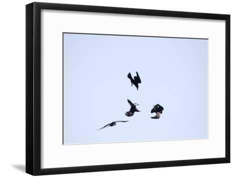 Four Ravens, Corvus Corax, Find Themselves in a Acrobatic Performance Midair-Robbie George-Framed Art Print
