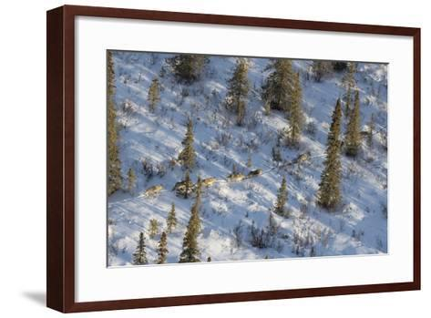 The Nenana River Wolf Pack Spends Time in Denali National Park and Just East of the Park-Aaron Huey-Framed Art Print