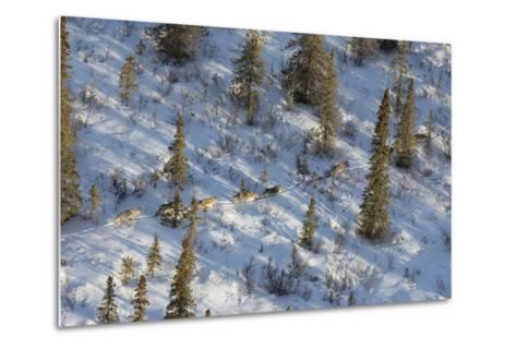 The Nenana River Wolf Pack Spends Time in Denali National Park and Just East of the Park-Aaron Huey-Metal Print
