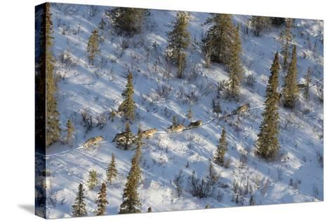 The Nenana River Wolf Pack Spends Time in Denali National Park and Just East of the Park-Aaron Huey-Stretched Canvas Print