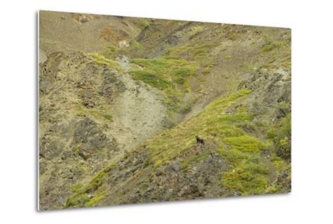 Aerial View of a Distant Grizzly Bear on Green, Rocky Terrain-Barrett Hedges-Metal Print