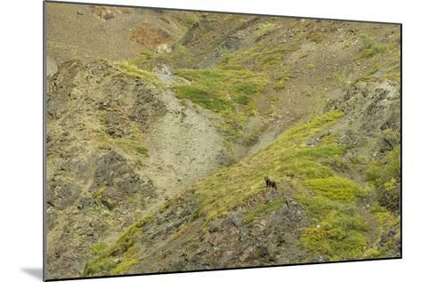 Aerial View of a Distant Grizzly Bear on Green, Rocky Terrain-Barrett Hedges-Mounted Photographic Print